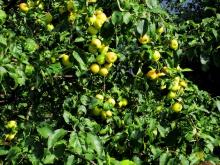 Яблони на базе отдыха